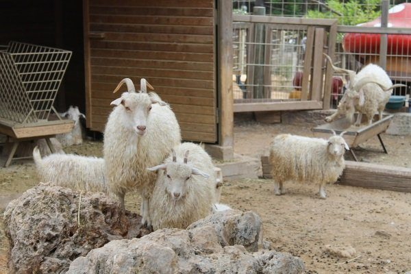 Ангорские козы