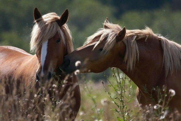 Разведении лошадей
