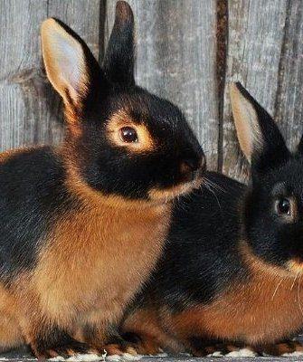 Чёрно-огненный кролик