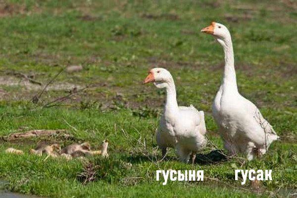 Размер гусей