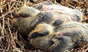 Новорожденные голуби