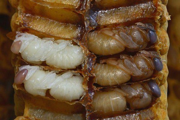Личинки в сотах