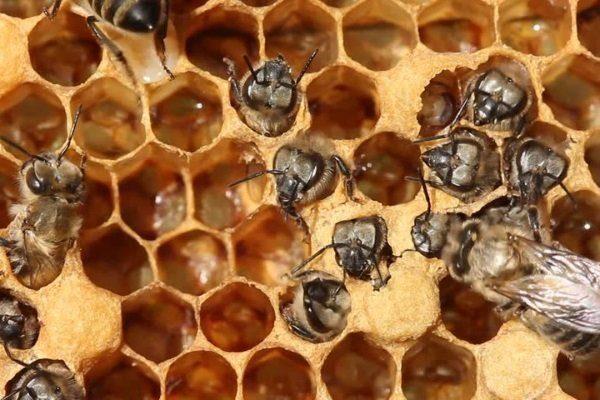 Пчелы вылазят из запечатанных ячеек