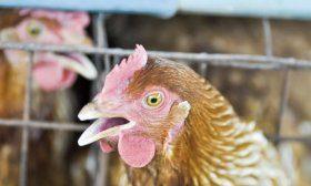 Кашель у курицы