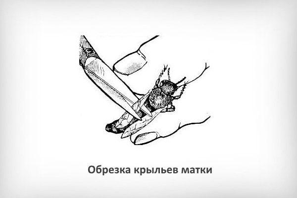 Обрезка крыльев матки