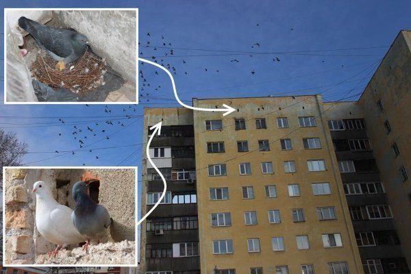 Птенцы голубей прячутся в гнездах на крыше