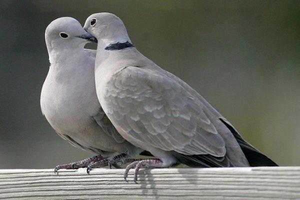 Серый голубь