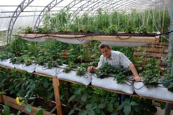 Выращивание клубники в теплице в мешках