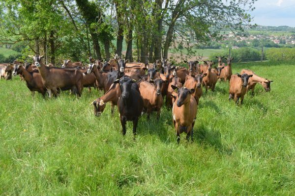 Чешские козы на пастбище