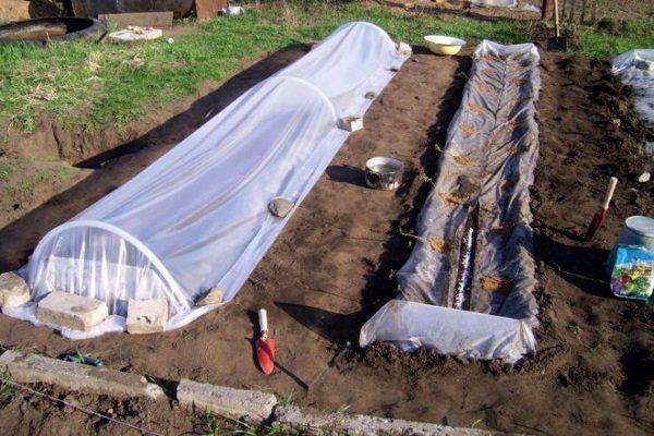 Посев огурцов под плёнкой