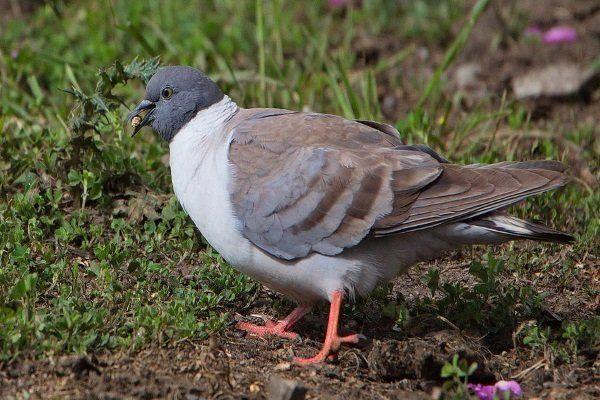 Белогрудый голубь