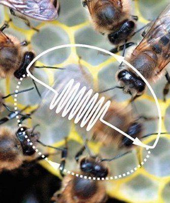 Танцы пчел