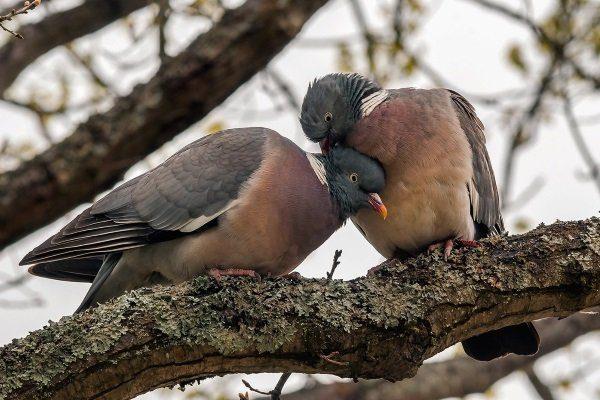 Лесные голуби
