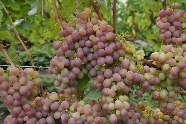 Виноград Украинка