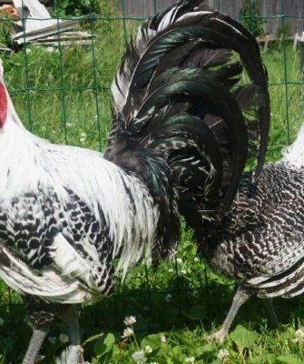 Петух и курица породы Брекель
