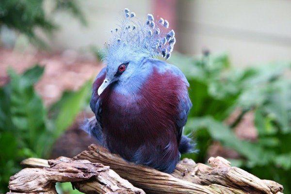 Венценосного голубя можно спутать с павлином