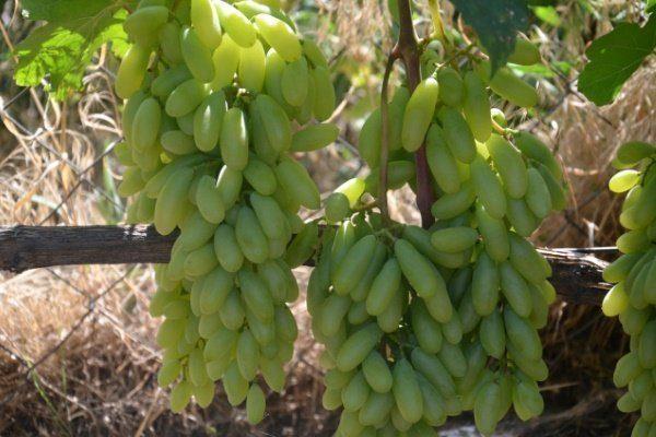 Виноград Хусайне келин бармак