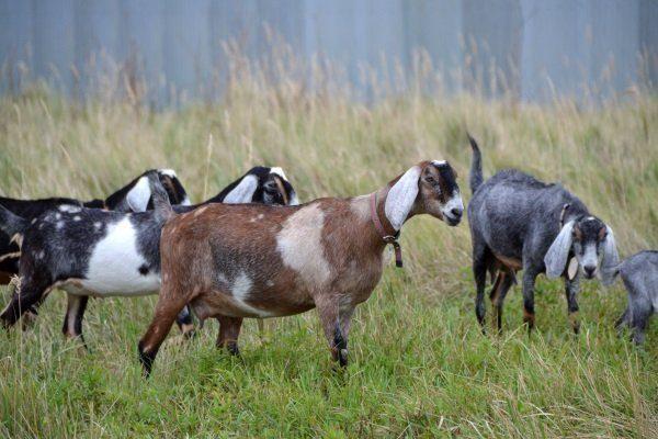 Англо-нубийские козы на выпасе