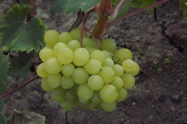 Виноград Цимус