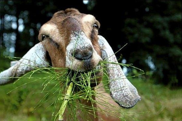 Коза кушает траву