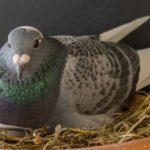 Гнездо голубинное