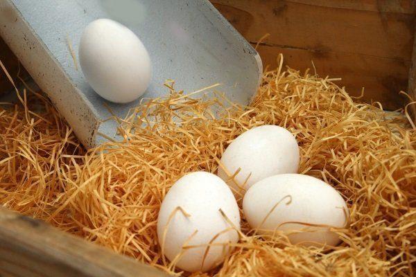 Яйца несушки Хай-Лайн