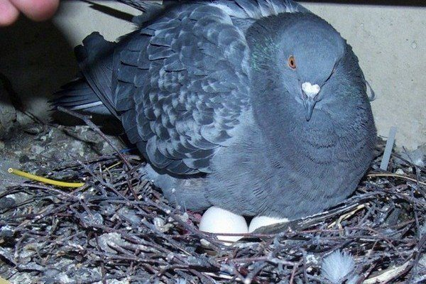 Голубка высиживает яйца