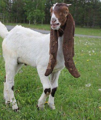 белые козы, с коричневыми ушами