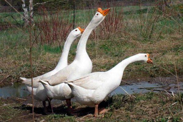 Белые китайские гуси