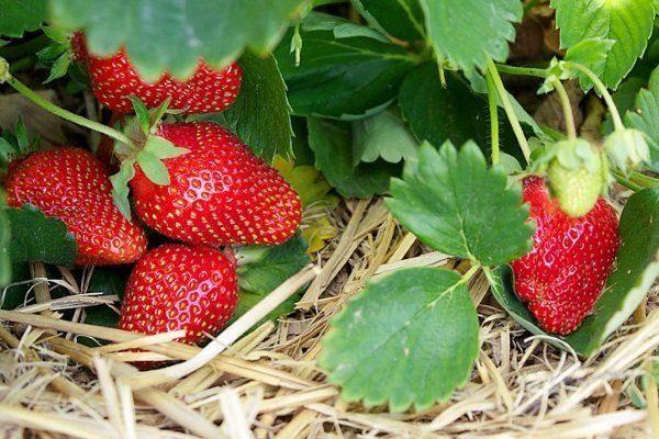 Сорт клубники для выращивания в теплице