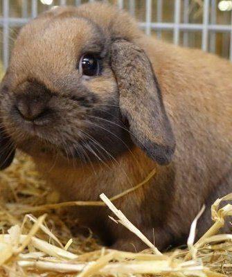 """Декоративная порода кроликов """"Карликовый баран"""""""