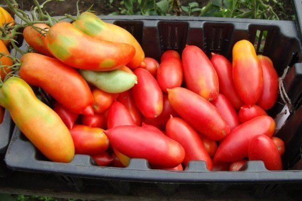 Сбор урожая Банана красного