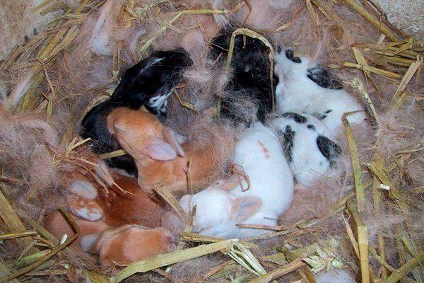 """Новорожденные кролики породы """"Карликовый баран"""""""