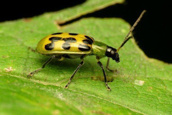 Огуречный жук
