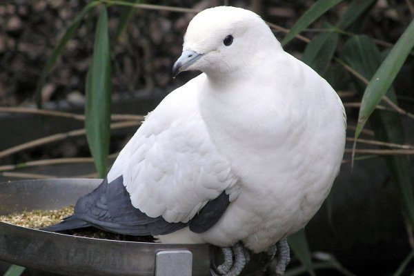 Фруктовый голубь