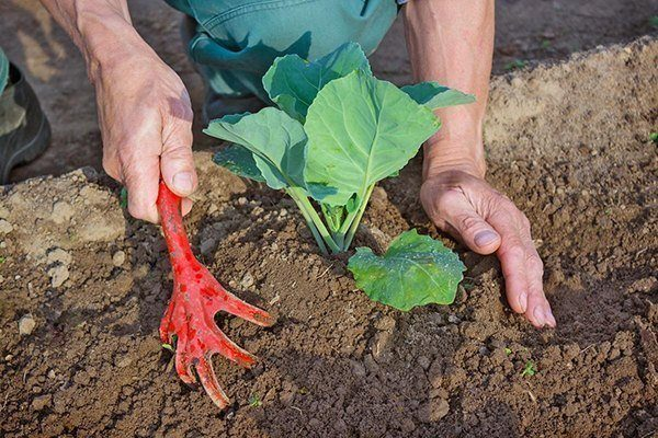 Окучивание капусты