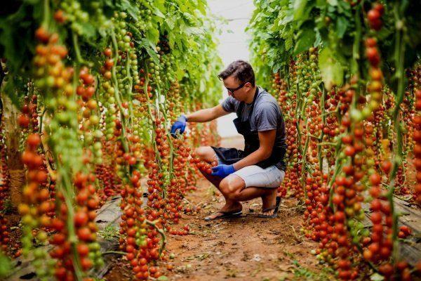 Выращивание томатов Рапунцель в открытом грунте