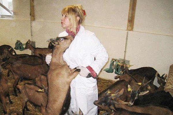 Ветеринар осматривает коз