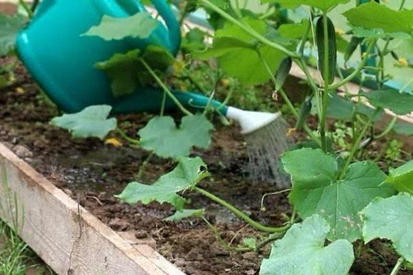 Удобрение и полив огурцов во время плодоношения