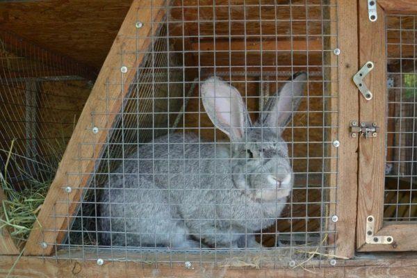 Содержание кролика Серый великан
