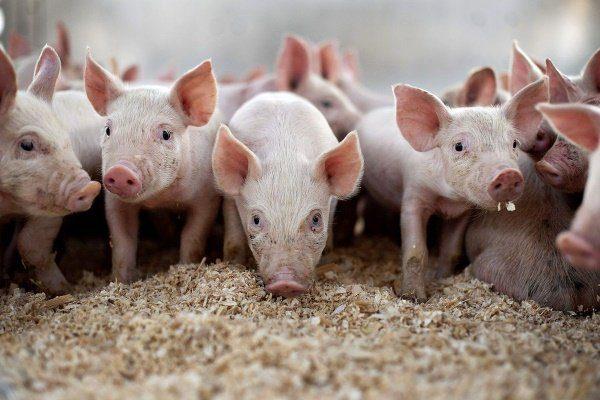 Виды подстилок для свиней