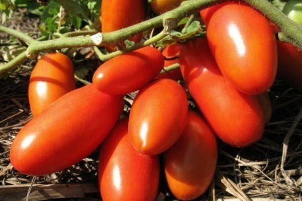 томаты супермодель