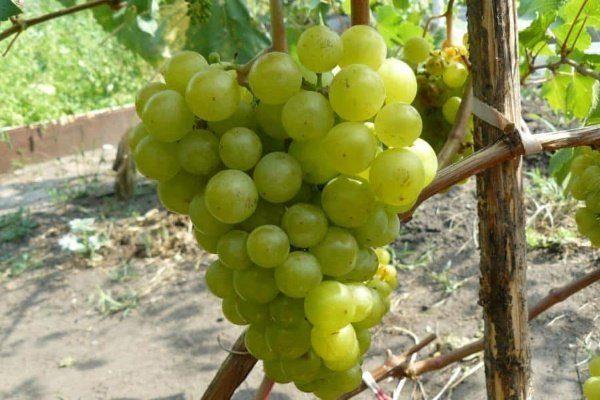 Виноград Жемчуг Саба
