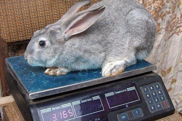 Крольчонок Серого великана