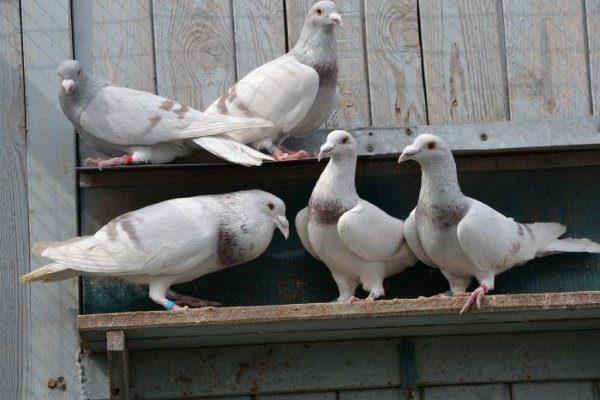 Голуби сиреневые чешские почтовые голуби.