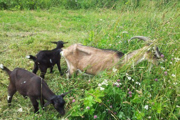 Тоггенбургская коза с козлятами
