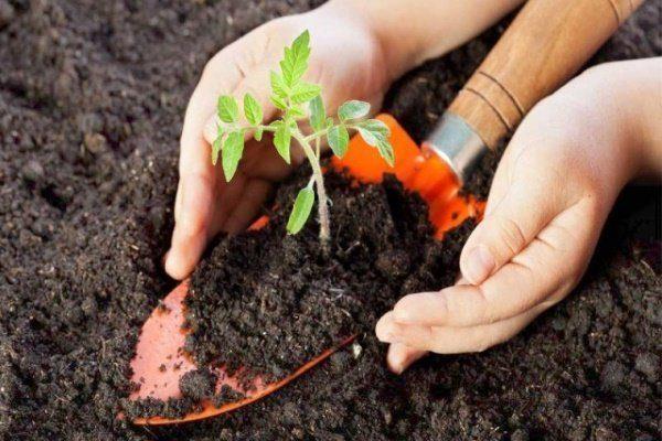 Почва для рассады помидор