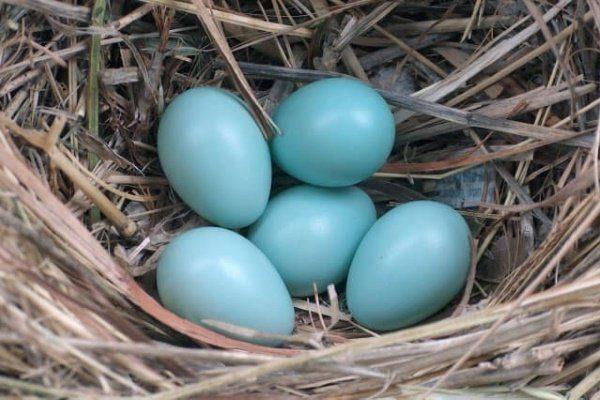 Голубые яйца кур Легбар