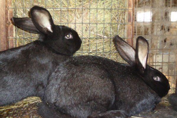 Черно-бурые кролики