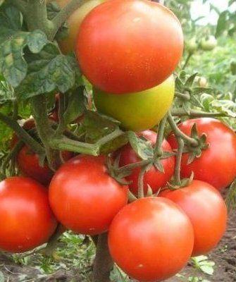 Подснежник помидор